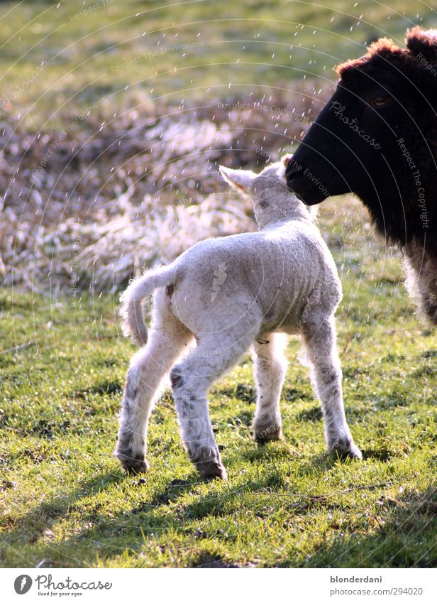 kurz vor der Schlachbank Fleisch Natur Wassertropfen Frühling Pflanze Nutztier 2 Tier Tierfamilie füttern dick natürlich sportlich grün Lamm Schaf