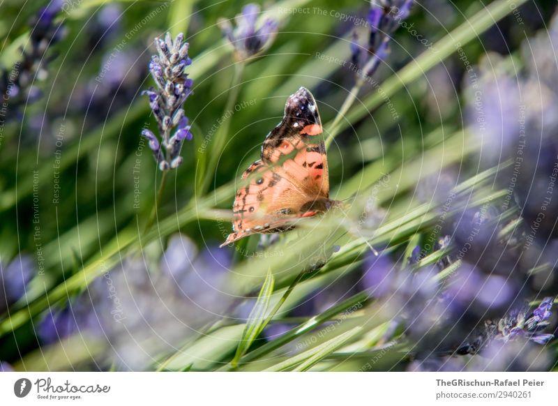 Butterfly Tier 1 blau violett Schmetterling Lavendel mehrfarbig Kontrast Blume Duft fliegen frei leicht Farbfoto Außenaufnahme Menschenleer Textfreiraum links