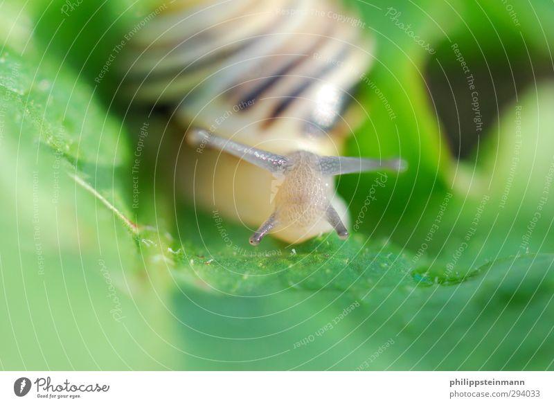 Mach ma schön langsam! Natur Tier Blatt Schnecke 1 rennen Blick braun grün kriechen Außenaufnahme Makroaufnahme Textfreiraum unten Tag Schwache Tiefenschärfe