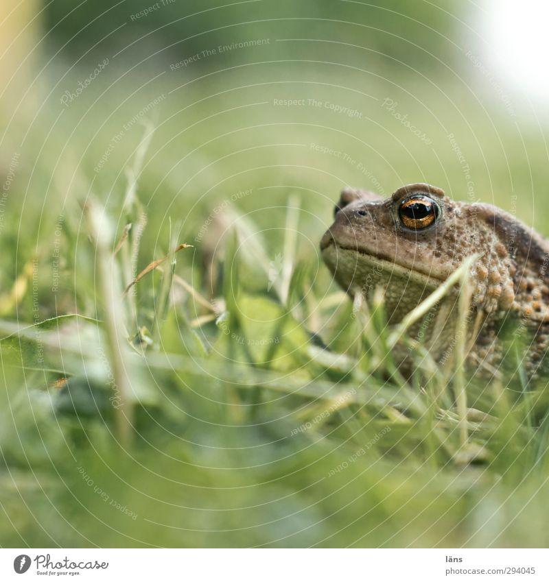 wer quakt da Kröte Gras Wiese Grün Natur Frosch
