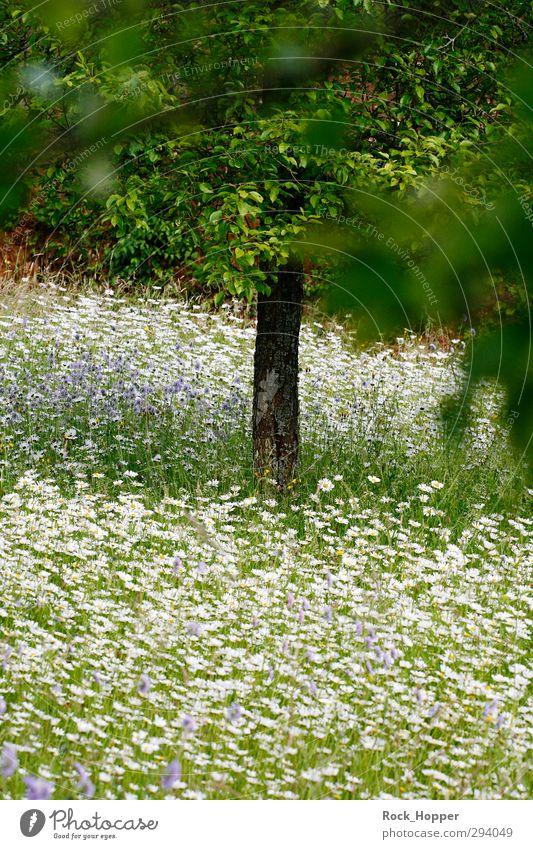 Blumenwiese Erholung ruhig Ferien & Urlaub & Reisen Sommer Garten Umwelt Natur Pflanze Baum Gras Sträucher Blatt Blüte Grünpflanze Gänseblümchen Apfelbaum Park