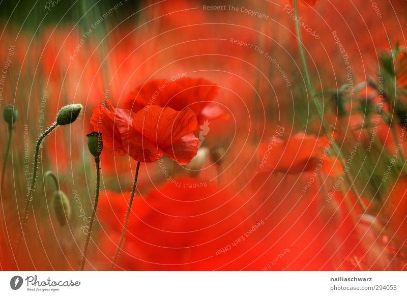 Sommerhauch Natur grün schön Pflanze rot Farbe Blume Wiese Wärme Frühling Blüte Garten natürlich Park Feld