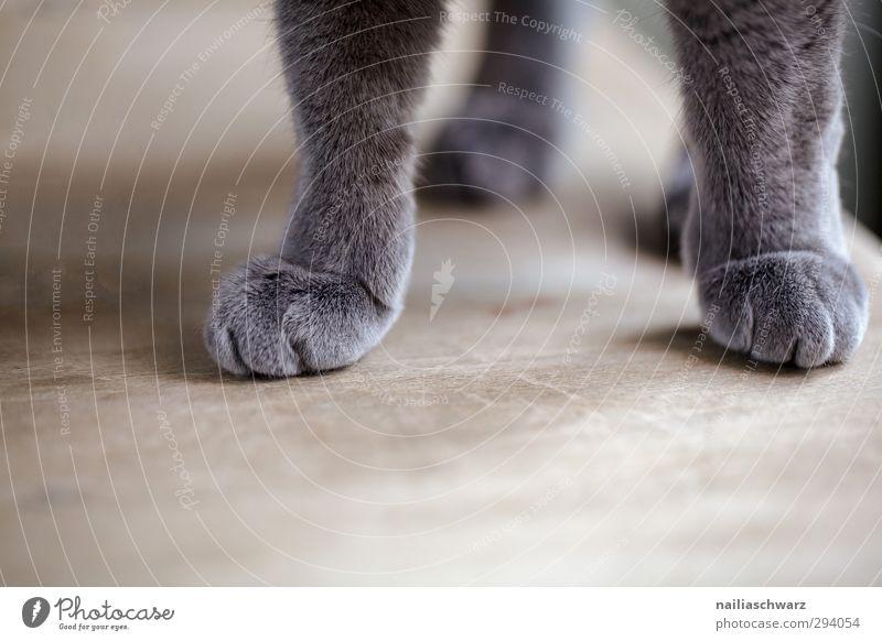 Samtpfote Katze Natur blau schön Tier Erholung grau Zufriedenheit elegant stehen Fröhlichkeit Warmherzigkeit niedlich Frieden Gelassenheit Haustier