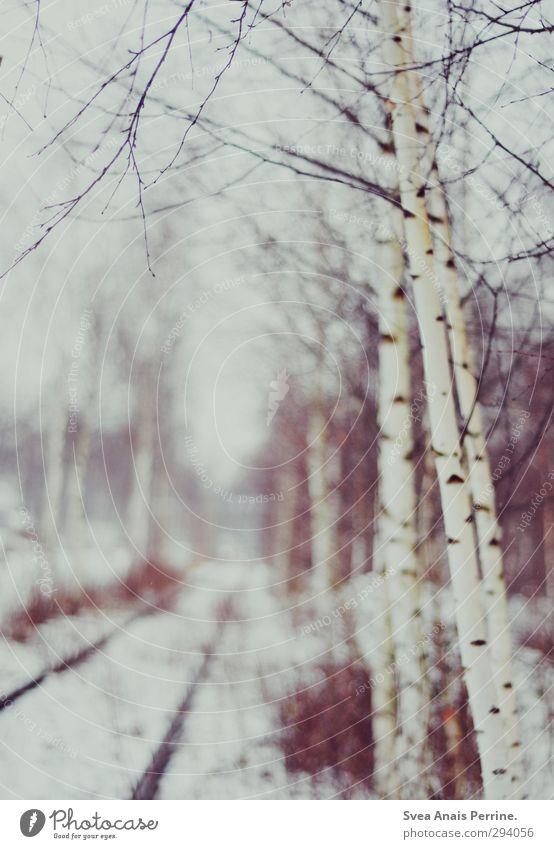 schneeweiß. Umwelt Natur Winter Baum kalt Birke Birkenwald Gleise Schneefall Landschaft Zweige u. Äste Farbfoto Gedeckte Farben Außenaufnahme Menschenleer Tag