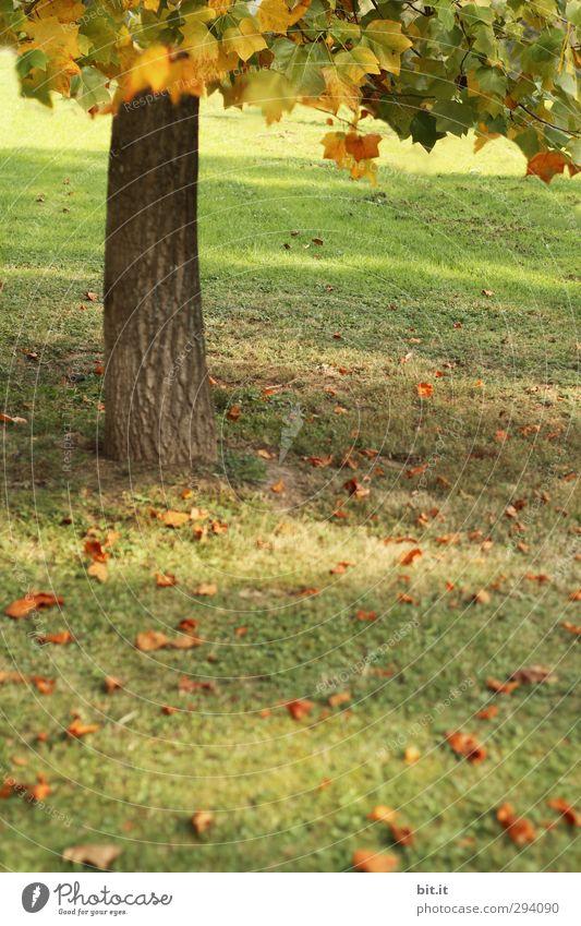 Schatten | unterm Baum Umwelt Natur Landschaft Pflanze Herbst Garten Park Wiese Stimmung Baumstamm Blätterdach herbstlich Herbstbeginn Herbstfärbung