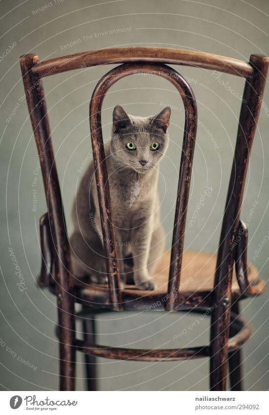 Bony Tier Haustier Katze Tiergesicht russisch blau 1 Möbel Kot antik Holz beobachten entdecken Blick sitzen elegant Freundlichkeit Fröhlichkeit kuschlig lustig