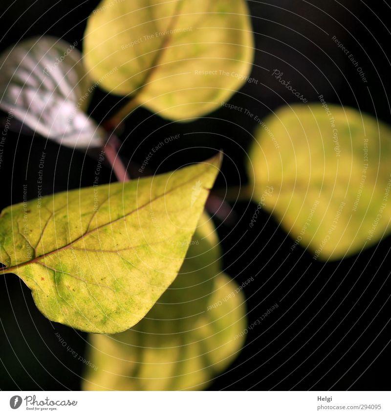 Schatten | ...hinterm Licht... Natur alt grün schön Pflanze Baum Blatt schwarz Umwelt gelb Herbst Garten braun natürlich authentisch Wachstum