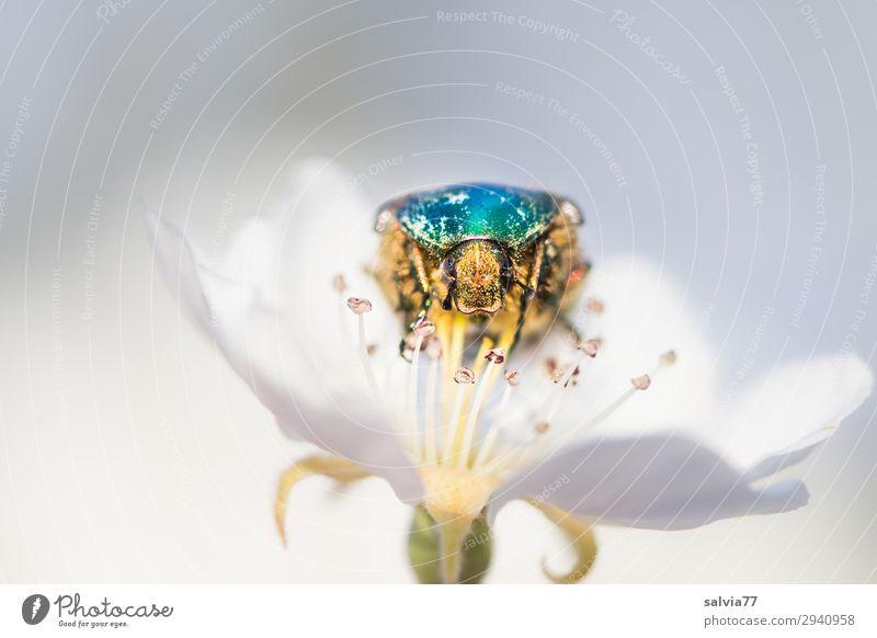 Rosenkäfer Umwelt Natur Frühling Pflanze Blüte Birnenblüten Garten Tier Käfer Tiergesicht Insekt 1 genießen krabbeln glänzend türkis weiß Pollen Farbfoto