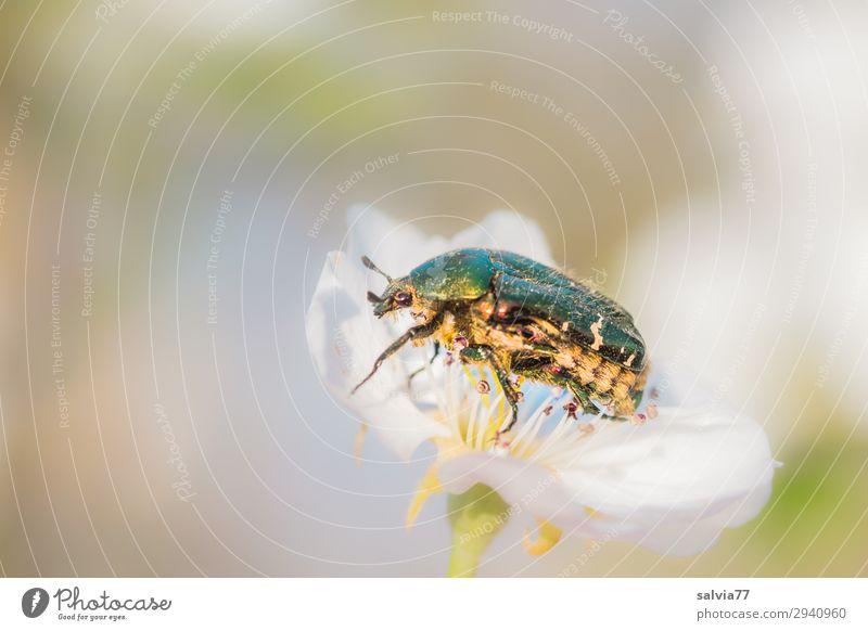 Rosenkäfer Umwelt Natur Frühling Sommer Blüte Garten Tier Wildtier Käfer Insekt 1 genießen krabbeln glänzend Pollen Duft bestäuben Farbfoto Außenaufnahme