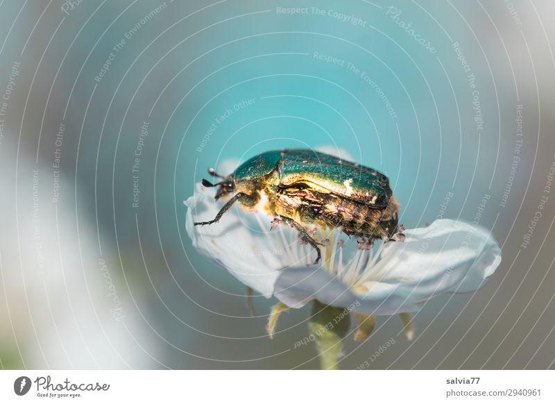 glänzend Umwelt Natur Frühling Pflanze Blüte Garten Tier Käfer Rosenkäfer 1 krabbeln Birnenblüten hell-blau grau weiß Pollen bestäuben Farbfoto Außenaufnahme