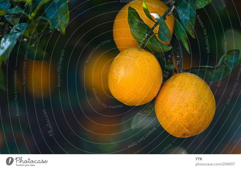 Orangenhaut Lebensmittel Frucht Ernährung Bioprodukte Slowfood Umwelt Natur Pflanze Schönes Wetter Baum Blatt Blüte Grünpflanze Nutzpflanze exotisch hängen