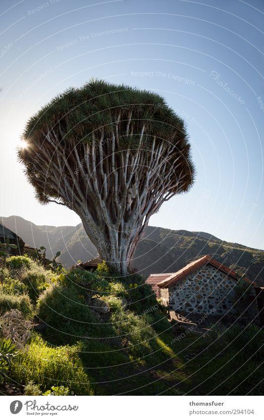 Drachenbaum Natur blau Ferien & Urlaub & Reisen grün Pflanze Baum Sonne rot Landschaft Haus Ferne Frühling grau Horizont groß Schönes Wetter