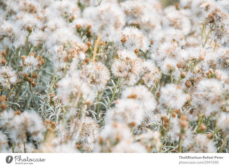 Pusten Natur grün silber weiß Löwenzahn Feld beruhigend blasen Farbfoto Außenaufnahme Menschenleer Textfreiraum oben Textfreiraum unten Tag