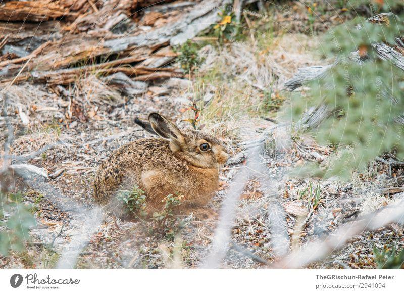 Hase Tier 1 braun grün Hase & Kaninchen Außenaufnahme sitzen hören bereit hüpfen Ohr Fell niedlich Sträucher Holz Farbfoto Menschenleer Textfreiraum unten Tag