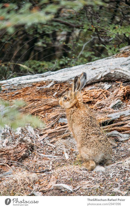 Tarnung Tier 1 braun Holz Hase & Kaninchen Geschwindigkeit Ohr hüpfen Farbfoto Außenaufnahme Menschenleer Textfreiraum oben Tag Starke Tiefenschärfe