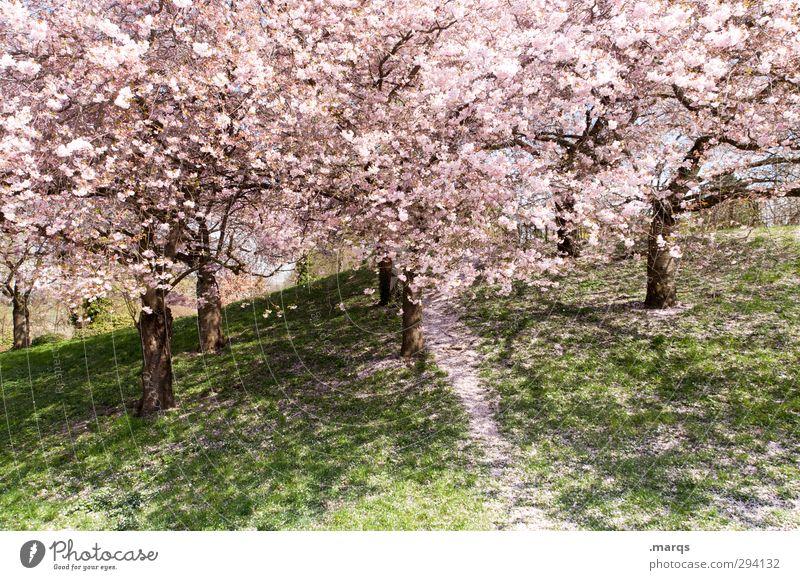 In voller Blüte Ausflug Natur Landschaft Pflanze Frühling Schönes Wetter Baum Kirschblüten Kirschbaum Park Wiese Blühend Duft frisch neu schön rosa Gefühle