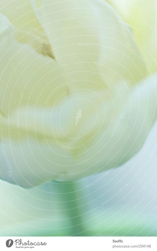 Tulpenblüte sanft und zart Blüte blühende Tulpe Frühlingsblume Blütenblatt Blühend hell hauchzart weiß weich Sinn Romantik Lichtstimmung malerisch dezent