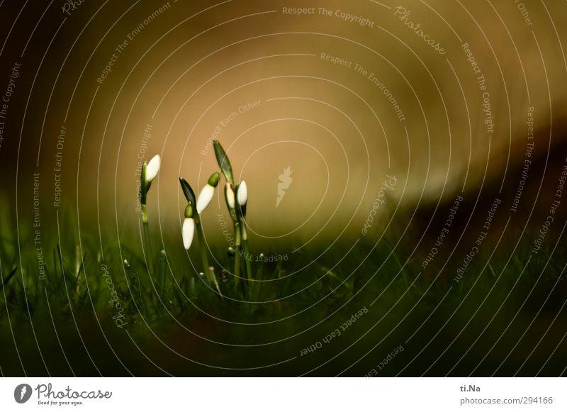 Glöckchen so weiß wie Schnee Natur grün Pflanze Blume Winter Umwelt dunkel Wiese kalt Gras Frühling klein Garten hell Schneefall
