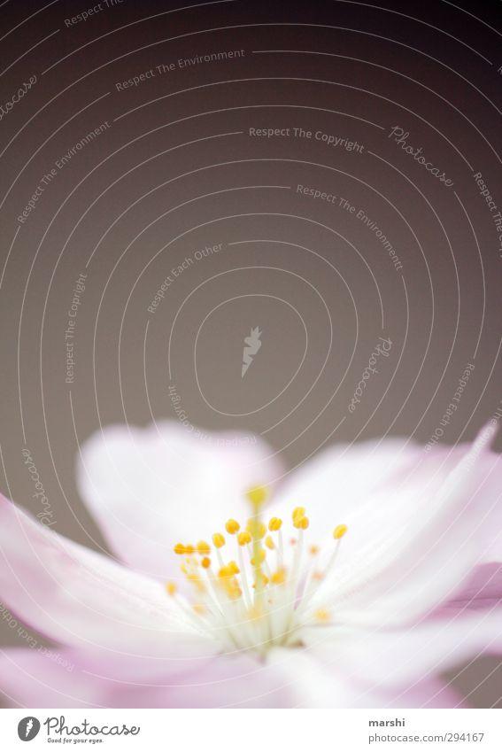 Frühlingsduft Natur Pflanze Blume rosa zart Frühlingsgefühle Frühlingsblume Frühlingsfarbe Kirschblüten Blühend Duft Blüte Blütenblatt Blütenstempel Farbfoto