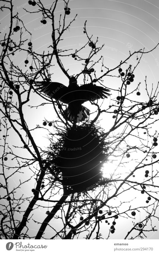 rabenschwarz Umwelt Natur Pflanze Tier Himmel Sonne Baum Vogel Flügel 1 bauen fliegen bedrohlich dunkel klug Angst Tod Krähe Rabenvögel Aaskrähe Nest Nestbau
