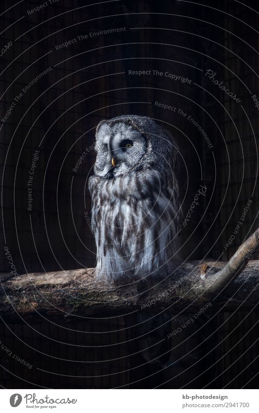 Great Gray Owl on a tree trunk Park Tier Wildtier Bartkauz sitzen codger species owl Strix Aviary Tree trunk bird birds Plumage Feathers Feather dress fly Beak