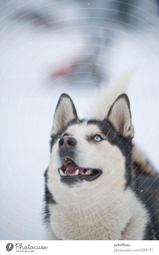 WO ist das Leckerchen? Tier Haustier Hund Tiergesicht 1 füttern Blick Freude Wachsamkeit fixieren Ohr Schnauze Maul Gebiss Blick nach oben Erwartung