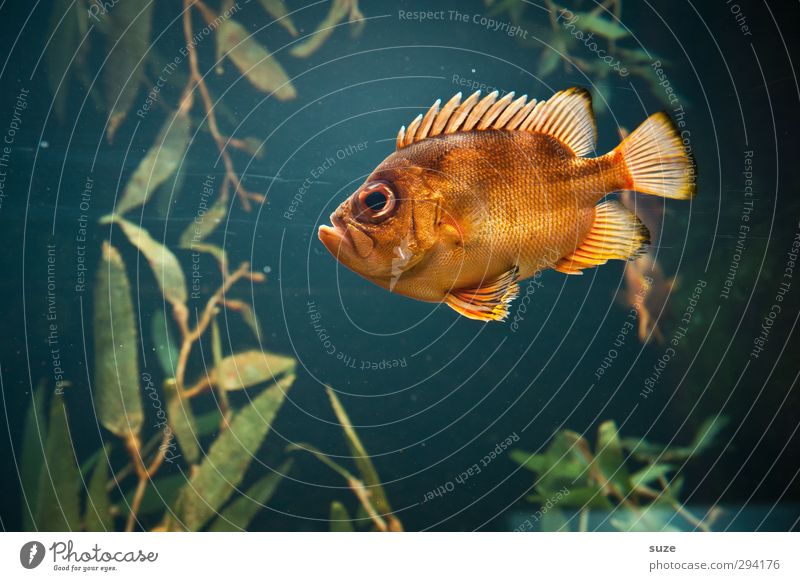 Der alte Fritz Tier Wasser Meer See Wildtier Fisch Aquarium 1 dunkel kalt klein blau grün orange Wasserpflanze leuchten böse Großaugenbarsch Barsch Flosse Maul