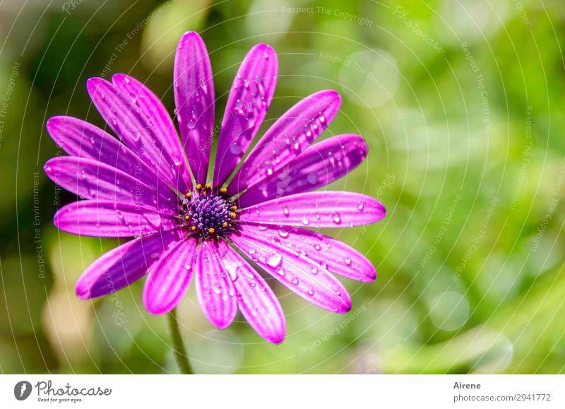 Mairegen macht schön Pflanze Wassertropfen Blume Blüte exotisch Margerite Korbblütengewächs Garten frisch hell natürlich positiv grün violett Natur rein Tau