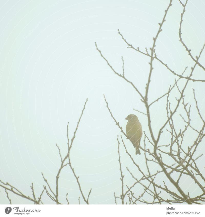 Vogelnebel Umwelt Natur Tier Himmel Nebel Pflanze Baum Geäst Ast Wildtier Singvögel Fink 1 hocken sitzen frei klein natürlich niedlich blau Freiheit analog