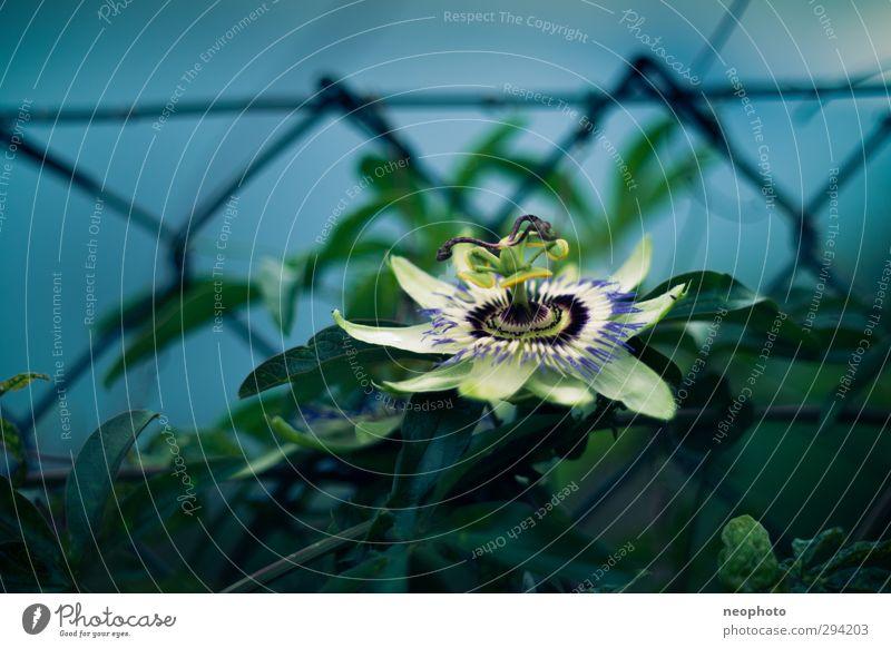 Zaungast Pflanze Mond Sommer Sträucher Blatt Blüte exotisch Passionsblume Garten Park blau grün schön Maschendrahtzaun Kontrast Farbfoto Gedeckte Farben
