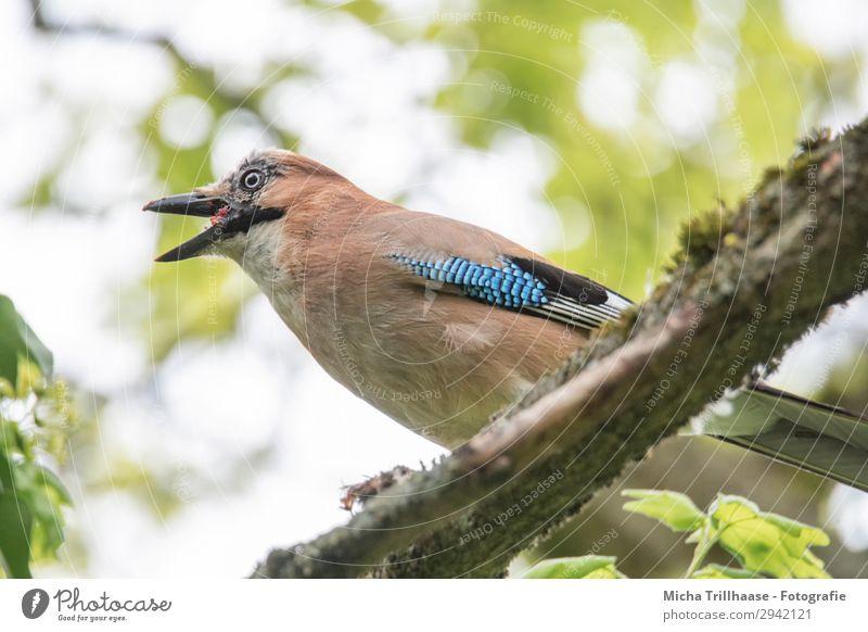 Fressender Eichelhäher Himmel Natur blau grün weiß Baum Tier Blatt schwarz gelb Auge natürlich orange Vogel leuchten Wildtier