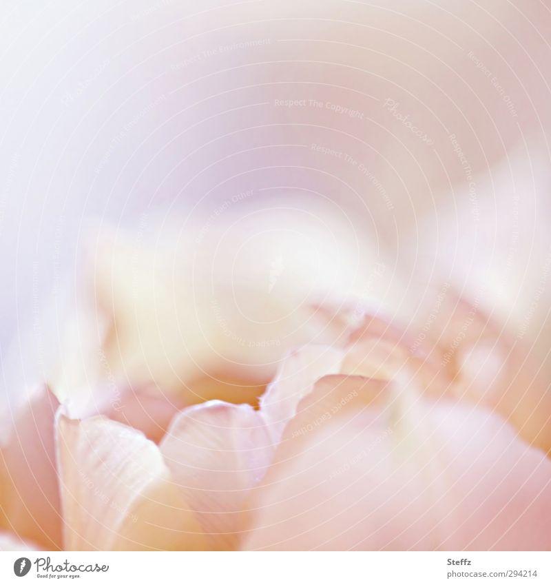 feine Tulpenblüte anders blühende Tulpe Frühlingsblume hellrosa rosa Blume rosa Blüte weich romantisch Sinn Romantik Idylle rein blühende Frühlingsblume