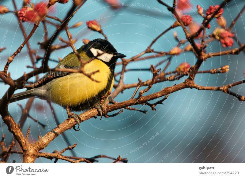 FRÜHLING! Tier Vogel Meisen 1 Freundlichkeit Fröhlichkeit mehrfarbig Frühlingsgefühle Farbfoto Außenaufnahme Nahaufnahme Menschenleer Tag Licht Sonnenlicht