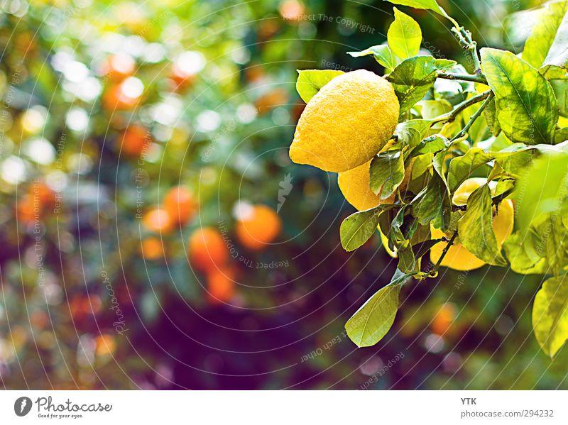 Zitronenhaut Natur Sommer Pflanze Baum Landschaft Umwelt Frühling Gesundheit Lebensmittel glänzend Orange Schönes Wetter ästhetisch Ernährung genießen Duft