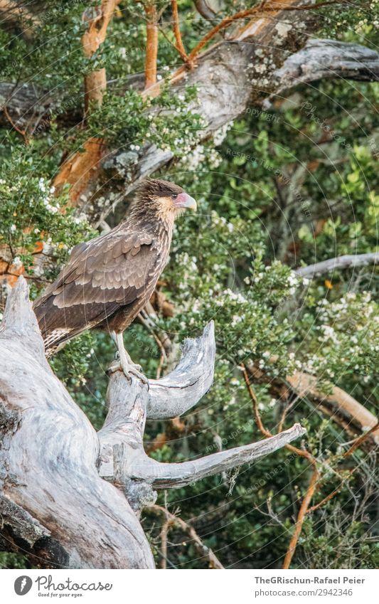 Cara Cara - Falken Tier 1 ästhetisch Vogel fliegen gefiedert Baum beobachten Schnabel Metallfeder Krallen Greifvogel Farbfoto Außenaufnahme Menschenleer