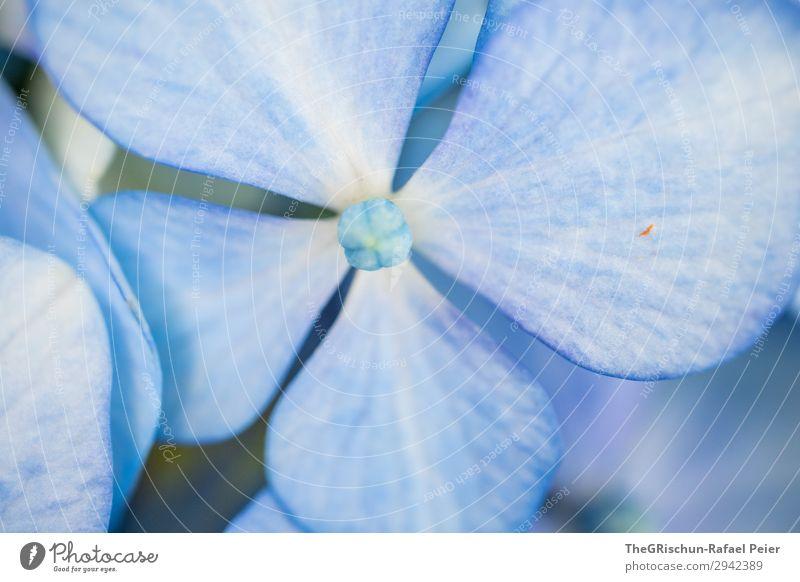 Hortensie Pflanze blau weiß Blüte Blume Strukturen & Formen Farbverlauf Detailaufnahme violett Farbfoto Außenaufnahme Makroaufnahme Menschenleer