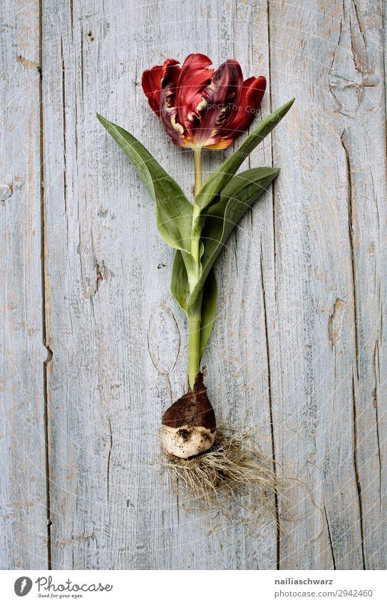 Tulpe Snowboard Umwelt Natur Pflanze Frühling Blume Nutzpflanze Zwiebel Holz Blühend Duft Wachstum natürlich schön grau grün rot friedlich Farbe