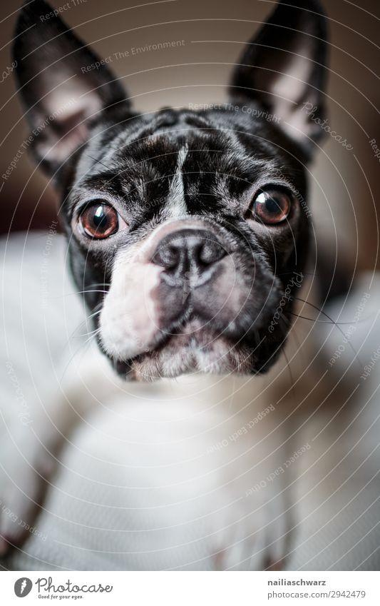Boston Terrier Portrait Tier Haustier Hund Tiergesicht 1 beobachten Blick frech Freundlichkeit Fröhlichkeit schön lustig Neugier niedlich schwarz weiß Gefühle