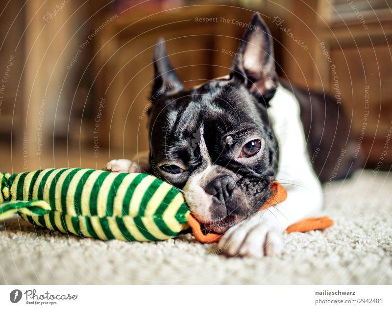 Boston Terrier Portrait Hund Tier ruhig Freude Lifestyle Glück Spielen Häusliches Leben Wohnung Zufriedenheit liegen Lebensfreude genießen beobachten festhalten