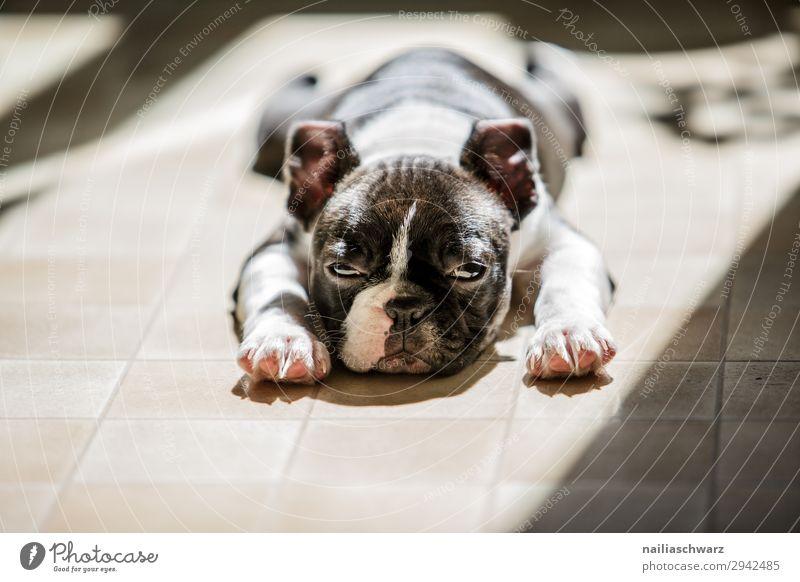 Boston Terrier Welpe Hund Erholung Tier ruhig Tierjunges Traurigkeit Zufriedenheit träumen liegen Idylle niedlich beobachten schlafen Haustier Langeweile bequem