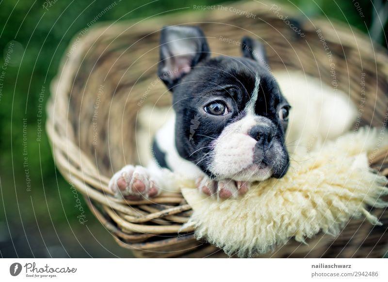 Boston Terrier Welpe Lifestyle Erholung ruhig Freizeit & Hobby Ferien & Urlaub & Reisen Tourismus Ausflug Fahrradfahren Straße Tier Haustier Hund Tiergesicht