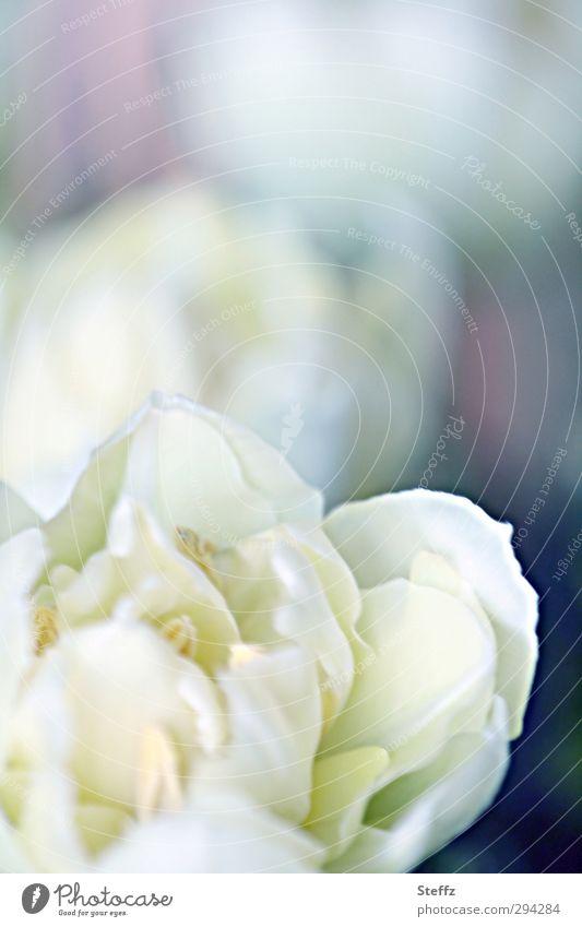 blühende Tulpen Blüte blühende Blumen Frühlingsblume Tulpenblüte Frühlingsblumen zarte Blume hell rein cremeweiß Romantik dezent Lichtstimmung Duft malerisch