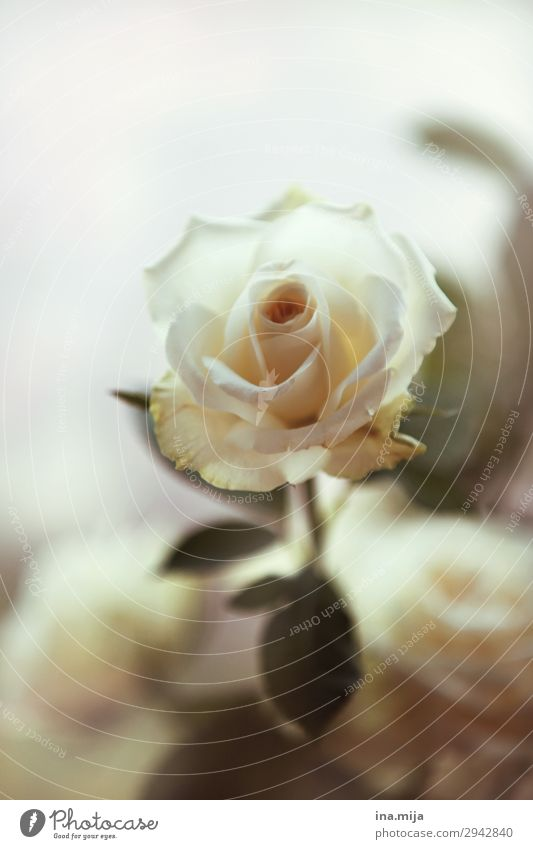 Weiße Schönheit Umwelt Natur Pflanze Frühling Sommer Blume Rose Blatt Blüte Zeichen Blühend ästhetisch Duft elegant Freiheit Frieden Hoffnung Liebe Liebesaffäre