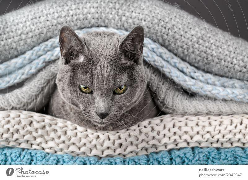 Russisch Blau Katze elegant Erholung Häusliches Leben Wohnung Tier Haustier Tiergesicht 1 Decke Seil beobachten Kommunizieren liegen Blick warten Neugier