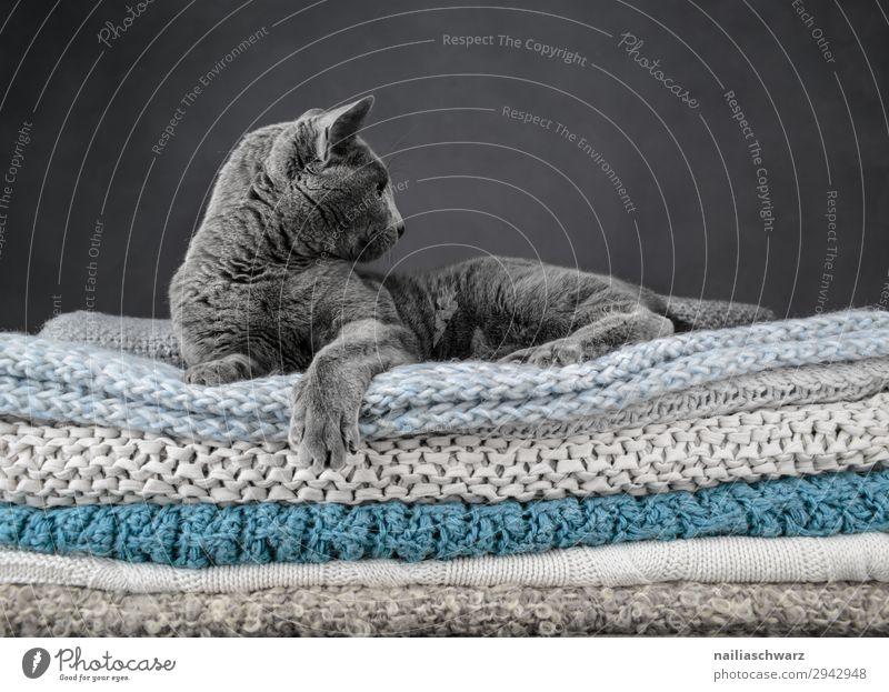 Russisch blau Katze elegant Erholung Tier Haustier Russisch Blau Katze britisch Kurzhaar Katze 1 Decke Strickdecke beobachten hocken liegen träumen frech