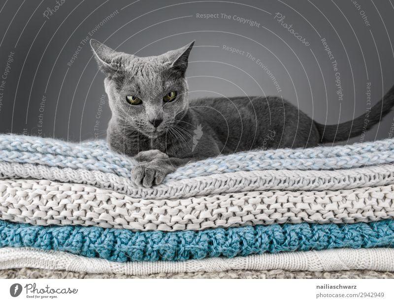 Russisch Blau Katze elegant Erholung Winter Tier Haustier 1 Decke Strickdecke Strickmuster beobachten liegen frech kuschlig lustig Neugier niedlich weich blau