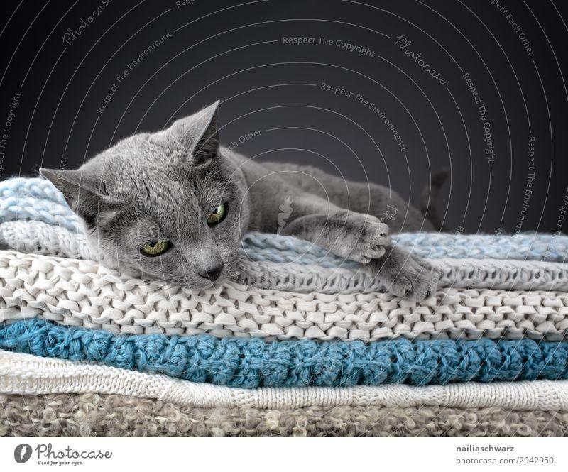 Russische Blau Katze elegant Stil Erholung stricken Häusliches Leben Wohnung Tier Haustier Tiergesicht Pfote russisch blau 1 Decke Strickdecke beobachten Blick