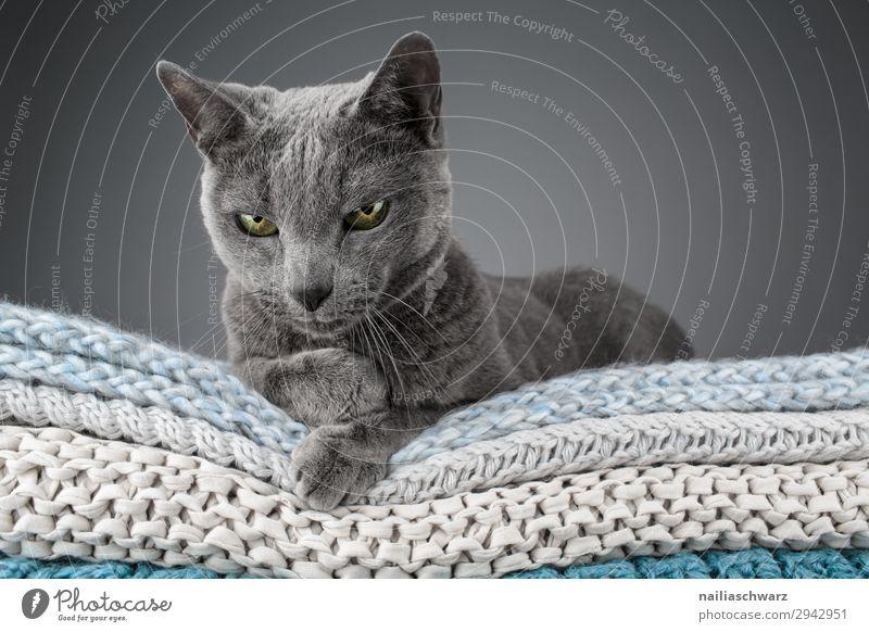 Russisch blau Katze elegant Erholung stricken Häusliches Leben Wohnung Tier Haustier russisch blau katze 1 Decke Textilien Strickmuster beobachten Blick