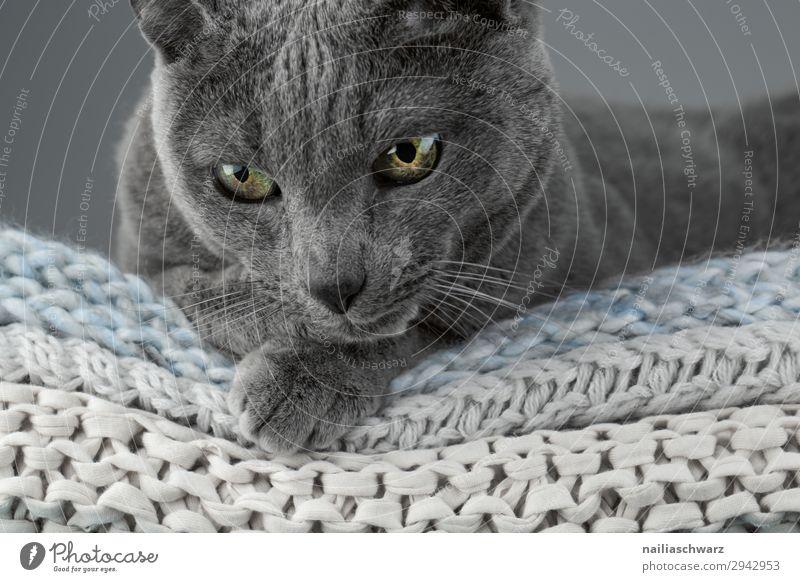 Russisch Blau Katze Lifestyle elegant harmonisch Wohlgefühl Erholung ruhig Häusliches Leben Tier Haustier Tiergesicht russisch blau Katze 1 Decke Strickdecke