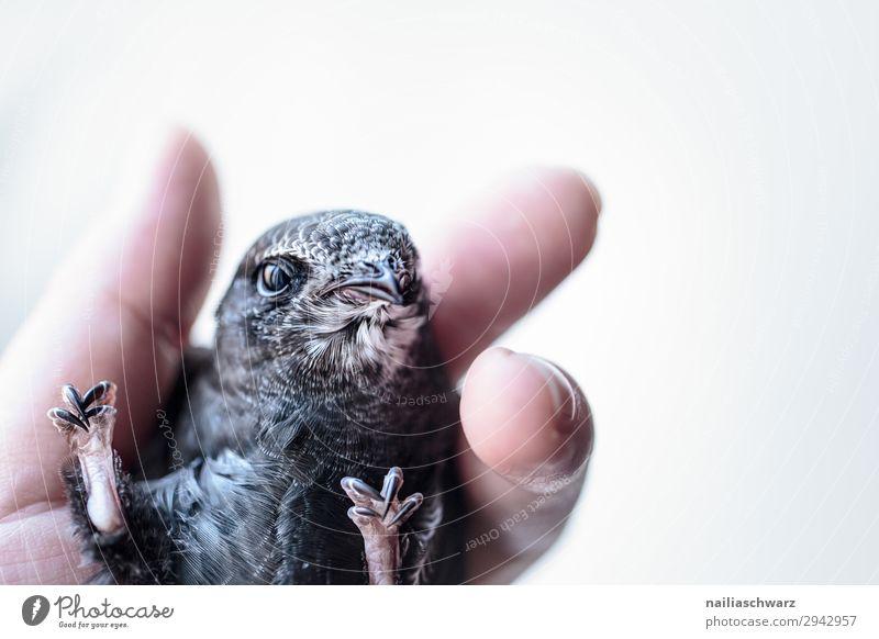 Mauersegler Sommer Mensch Hand Finger Tier Wildtier Vogel Tiergesicht Tierjunges beobachten festhalten Blick Gesundheit klein Neugier niedlich schön grau